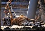 Tiger rollt sich