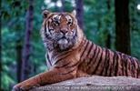 Tiger Safari 03