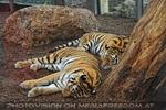 Tiger schlafen