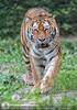 Tiger schleicht heran