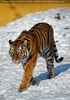 Tiger snowwalk