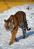 Tiger snowwalk