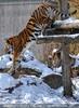 Tiger Sprung