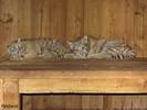 Tigerbabys2