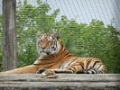Tigerpause