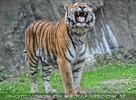 Tiger wittert