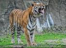 Tiger Witterung