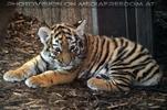 Tigerbaby aufmerksam