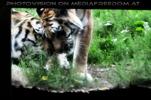 Tigerbaby Eltern