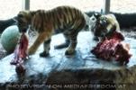 Tigerbaby Fütterung