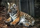 Tigerbaby Mädel
