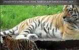 Tigerbaby mit Papa Ivan