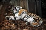 Tigerbaby müde