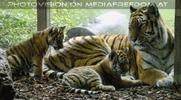 Tigerbabys bei Mama