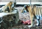 Tigerbabys warten auf Futter
