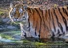 Tigerbad 01