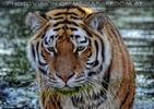 Tigerbad 05