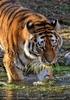 Tigerbad 06