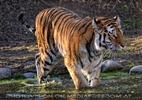 Tigerbad 07