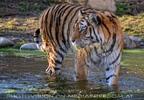 Tigerbad 08