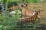 Tigerbad 1