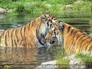 Tigerbad 3