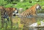 Tigerbad 4