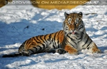 Tigerlady im Schnee