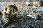 Tigermama mit Baby Fütterung