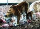 Tigermama mit Baby