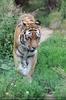 Tigermama Streifzug