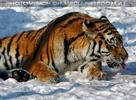 Tigerwäsche im Schnee