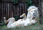 Weiße Löwen 09
