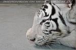 Weiße Tiger 04