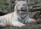 Weiße Tiger 08