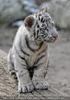 Weiße Tiger 13