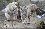 Weiße Tiger 21