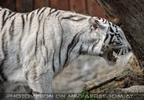 Weiße Tiger 23
