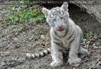 Weiße Tiger 24