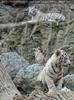 Weiße Tiger 28