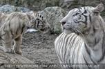 Weiße Tiger 36
