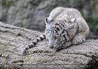 Weiße Tiger 44