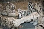 Weiße Tiger 53