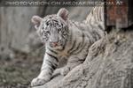 Weiße Tiger Kindergarten 03