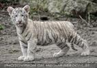 Weiße Tiger Kindergarten 05