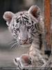 Weiße Tiger Kindergarten 06