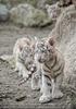 Weiße Tiger Kindergarten 07