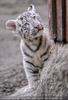 Weiße Tiger Kindergarten 08