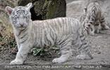 Weiße Tiger Kindergarten 10