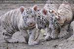 Weiße Tiger Kindergarten 19